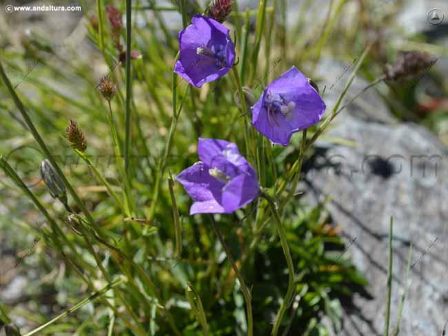 campanillas-de-cantil-campanula-rotundifolia-subsp-willkommii