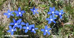 genciana-de-primavera-gentiana-sierrae