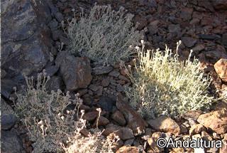 Manzanilla Real -Artemisia granatensis-