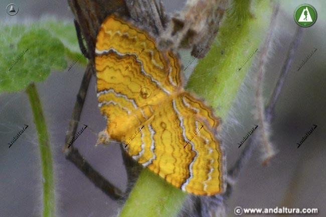Concha amarilla - Camptogramma bilineata -