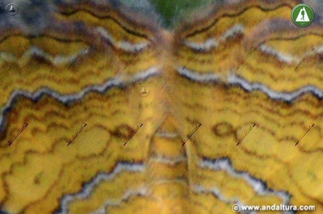Detalle alas de Concha amarilla - Camptogramma bilineata -