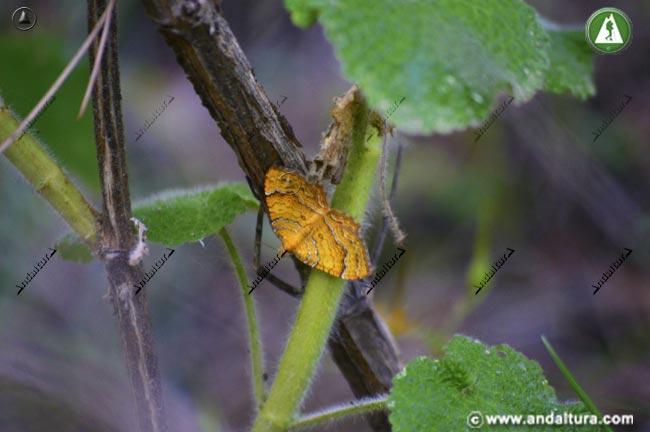 Tamaño real de Concha amarilla - Camptogramma bilineata -