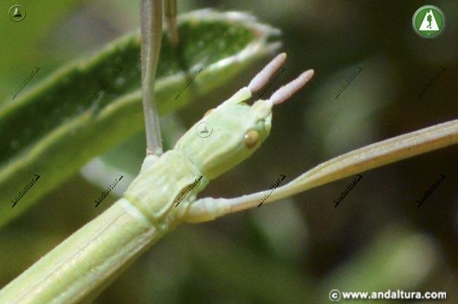 Detalle Cabeza Insecto alo -Leptynia hispanica -