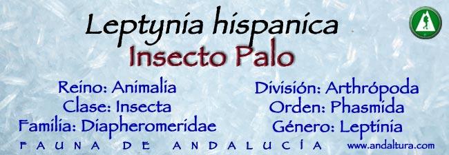 Taxonomia: Insecto Palo -Leptynia hispanica -