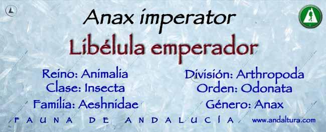 Taxonomía: Libélula Emperador - Anax imperator -