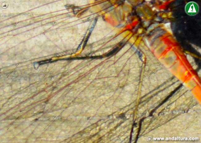 Detalle patas Sympetrum striolatum