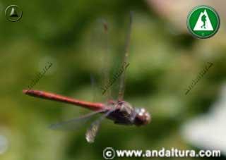 Sympetrum striolatum en vuelo