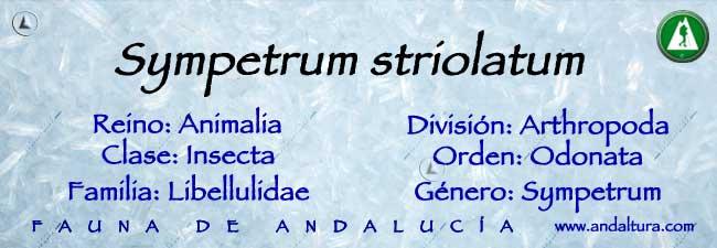 Taxonomía: Sympetrum-striolatum