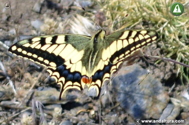 Macaón -Papilio machaon -