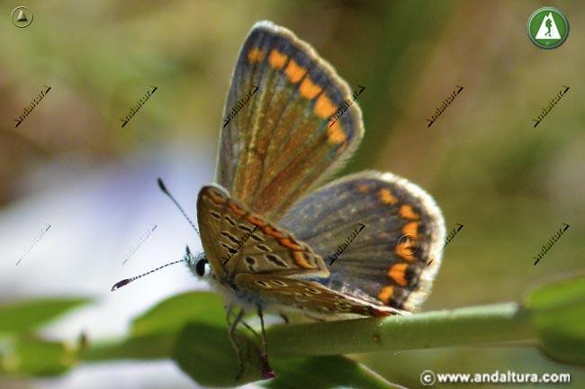 Hembra de Niña de Sierra Nevada - Polyommatus golgus -