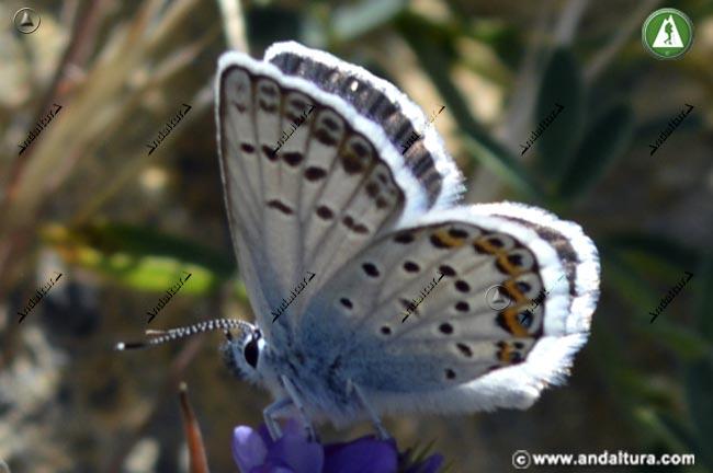 Macho de Niña de Sierra Nevada - Polyommatus golgus -