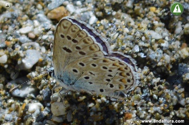 Detalle de Macho de Niña de Sierra Nevada - Polyommatus golgus -