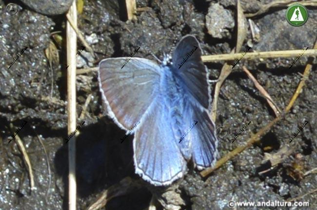 Macho Niña de Sierra Nevada - Polyommatus golgus -