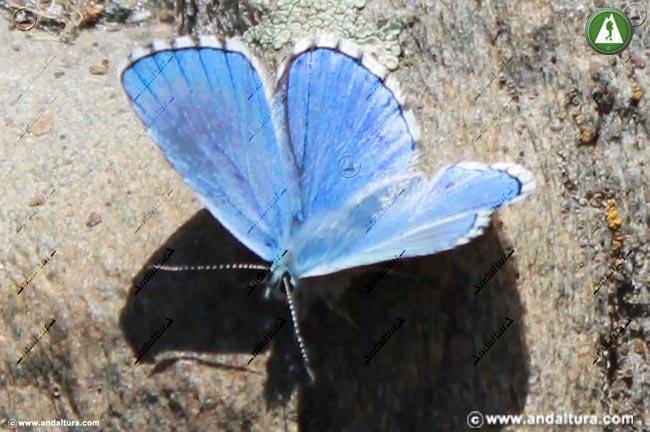 Niña de Sierra Nevada o Sierra Nevada Blue - Polyommatus golgus -
