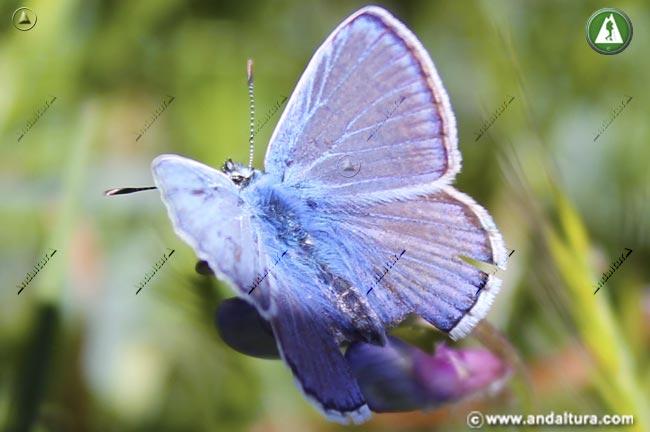 Macho de Sierra Nevada Blue - Polyommatus golgus -