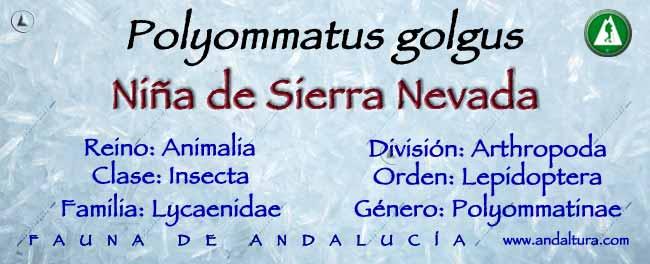 Taxonomia: Niña de Sierra Nevada -Polyommatus golgus-