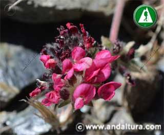 Anthyllis vulneraria subsp. pseudoarundana
