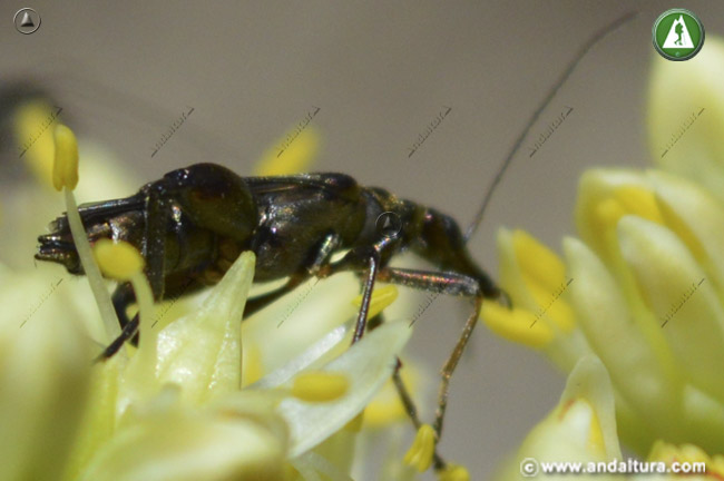 Oedemera flavipes comiendo hojas frescas