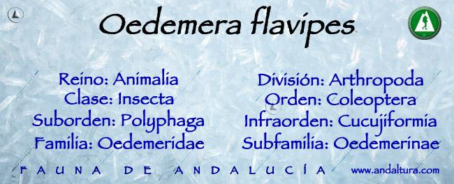 Taxonomía de la Oedemera flavipes