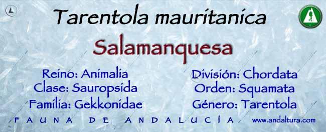 Taxonomía: Salamanquesa -Tarentola mauritanica -