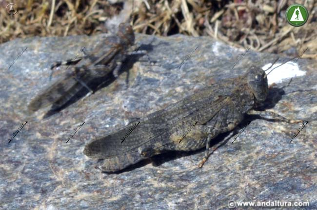 Cría y adulto de Saltamontes de Alas Rojas - Oedipoda germanica -
