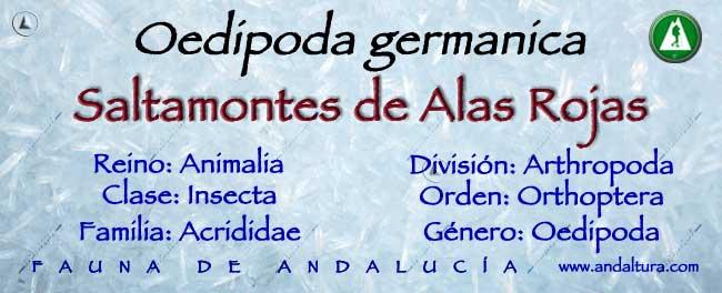 Taxonomía: Saltamontes de alas rojas -Oedipoda germanica -