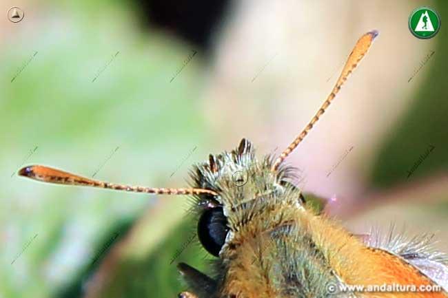 Detalle Cabeza y antenas de Thymelicus sylvestris