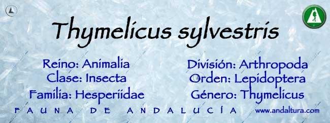 Taxonomía: Thymelicus sylvestris