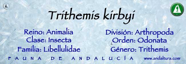 Taxonomía: Trithemis kirbyi