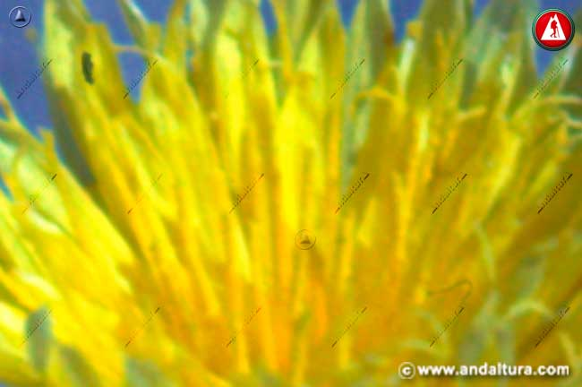 Detalle flor de Árnica - Centaurea granatensis -