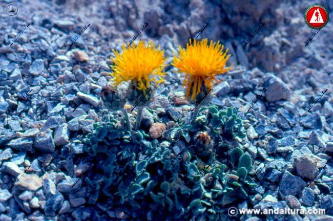 Árnica - Centaurea granatensis -