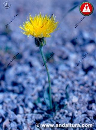 Detalle planta de Árnica - Centaurea granatensis -