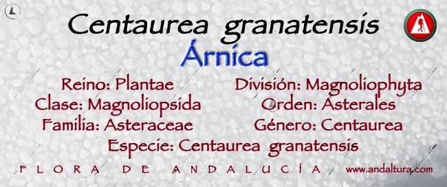Taxonomía: Árnica - Centaurea granatensis -