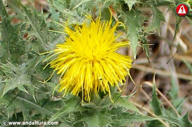 Flor de Cardo Cabrero - Carthamus arborescens -