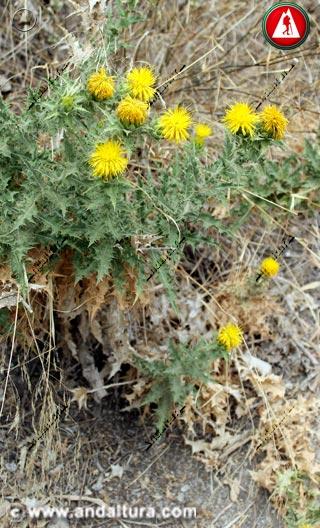 Planta de Cardo Cabrero - Carthamus arborescens -