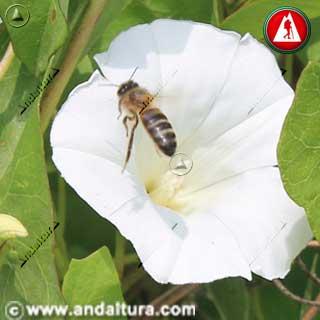 Abeja en Correhuela - Convolvulus arvensis -