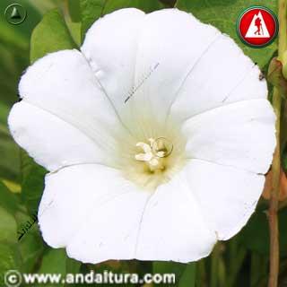 Flor de Correhuela - Convolvulus arvensis -