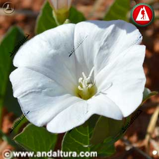 Flor de Correhuela o Campanilla