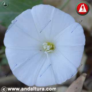 Flor de Correhuela, Campanilla o Carihuela