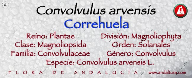 Taxonomia: Correhuela - Convolvulus arvensis -