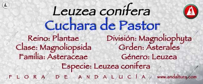 Taxonomía: Cuchara de Pastor - Leuzea conifera -