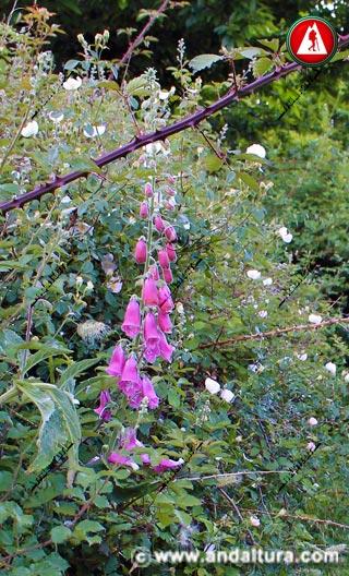 Tallo y Flores de Dedal, Dedalera, Digitalis o Chupamieles