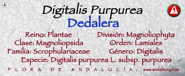 Taxonomia: Dedalera - Digitalis purpurea -