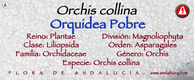 Taxonomía: Orquidea Pobre - Orchis collina -, Magnoliphyta, Liliopsida, Asparagales, Orchidaceae, Orchis