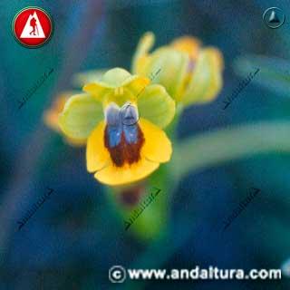 Detalle de Flor de Abeja - Ophrys lutea -