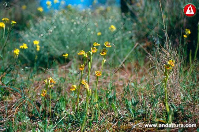 Entorno de Abejera amarilla - Ophrys lutea -