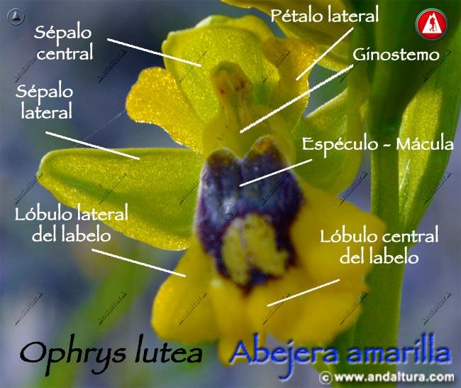 Esquema de Abejera amarilla - Ophrys lutea -