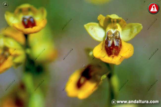 Flores de Ophrys lutea