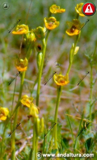 Plantas Abejera amarilla - Ophrys lutea -