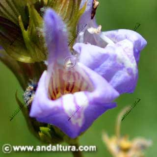 Detalle flor de salvia